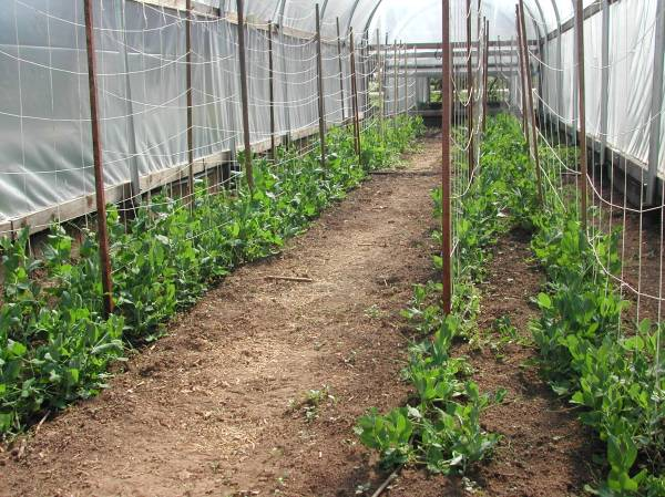 Hoop house peas on April 22