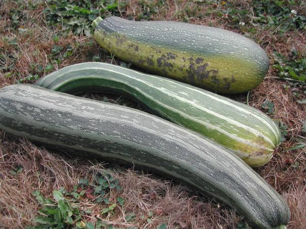 How can zucchinis hide when they get this big?