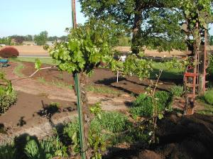 A couple grape vines in May