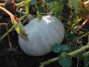Hubbard squash are just about ready.
