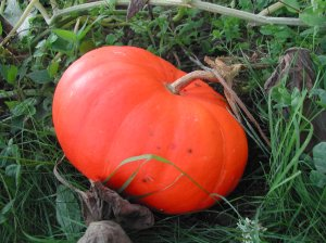 The Rouge Vif D'Etampes pumpkins are about ready, too. (I love that name.)