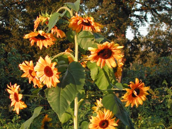 Sunflowers keep blooming into fall.