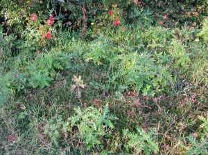 Cranberries and weeds