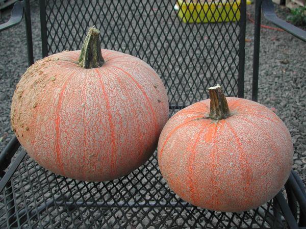 Winter Luxury pumpkins