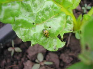 Western Spotted Cucumber Beetle on the chard