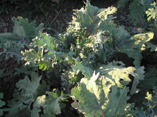 Red Russian kale in the evening light