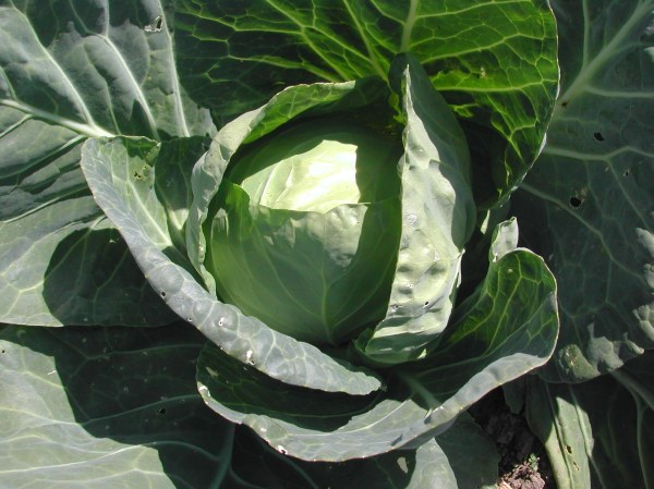 Farao cabbages are ready now!