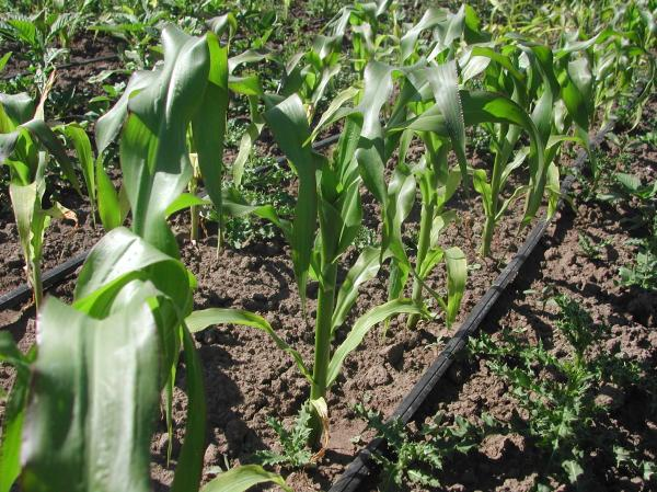 Perhaps there will be sweet corn this year?