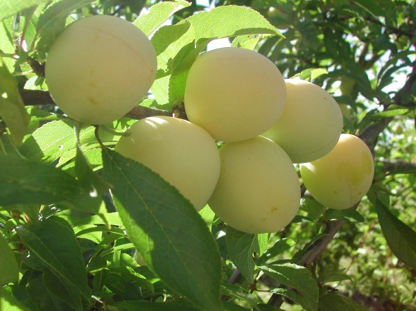 Shiro plums are almost ready