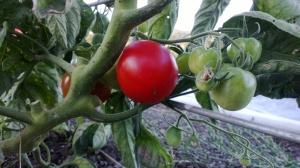 The first ripe Stupice tomato