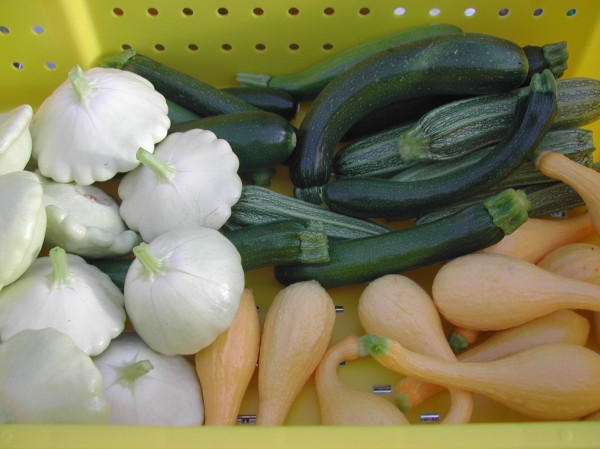 One day's harvest of zucchini and summer squash