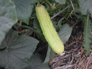 This cucumber is growing among my dark green Marketmores.