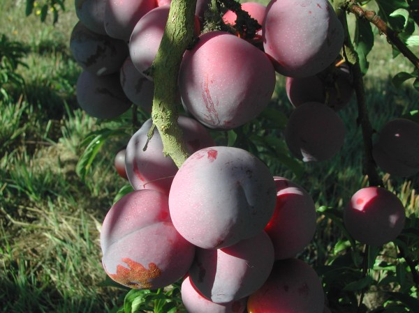Pluots are coming!