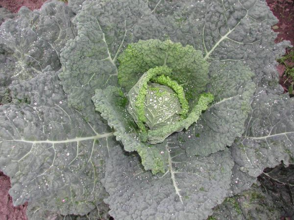 A gratuitous picture of Famosa, a savoy cabbage, that will hopefully mature in time for this fall