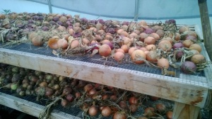onions drying in the hoop house