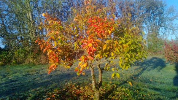 There isn't much fruit on this persimmon tree, but the leaves have some beautiful fall colors
