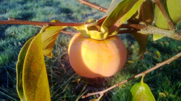 A slightly frosty persimmon