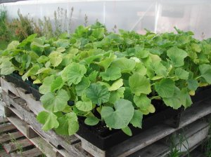 I started the summer squash in potting soil. They are ready to plant out this week.