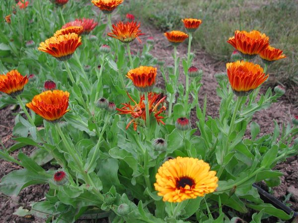 I planted several beds of flowers to attract beneficial insects; to pollinate and to feed on pest insects.