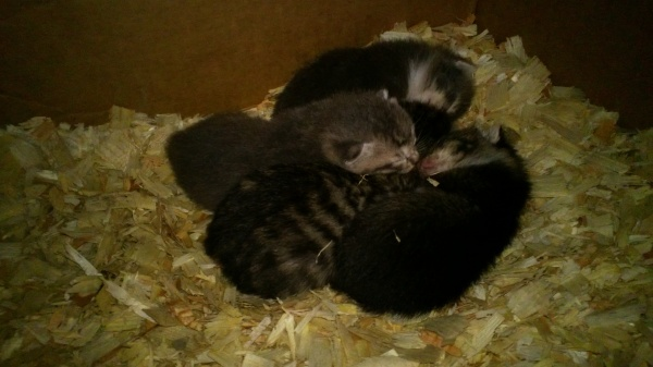 The feral kittens at three weeks