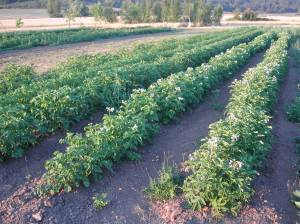In the other summer field, the potatoes are looking good.