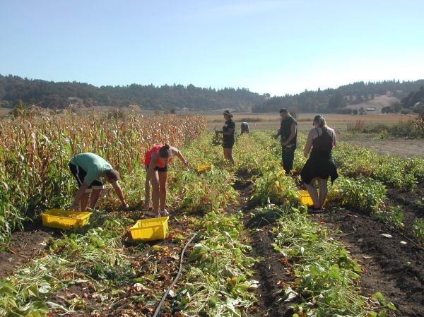 The harvest crew, hard at work.