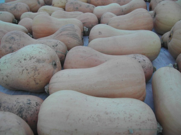 Butternut squash, harvested and curing in the hoop house