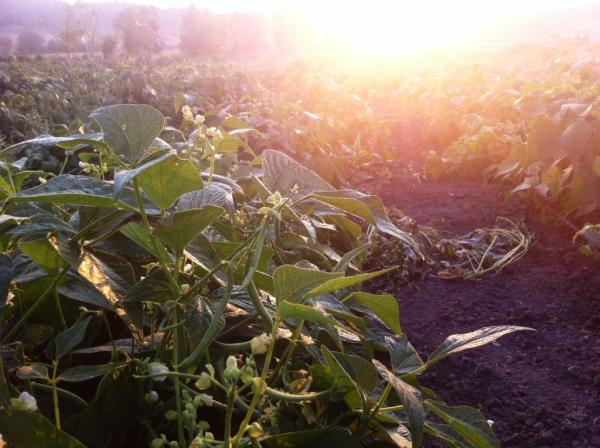 Beans at sunrise, photo by Beth R.