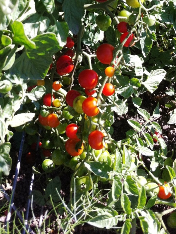 Cherry tomatoes, photo by Beth R.
