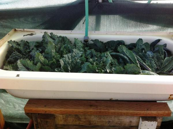 Kale bath, photo by Beth R.