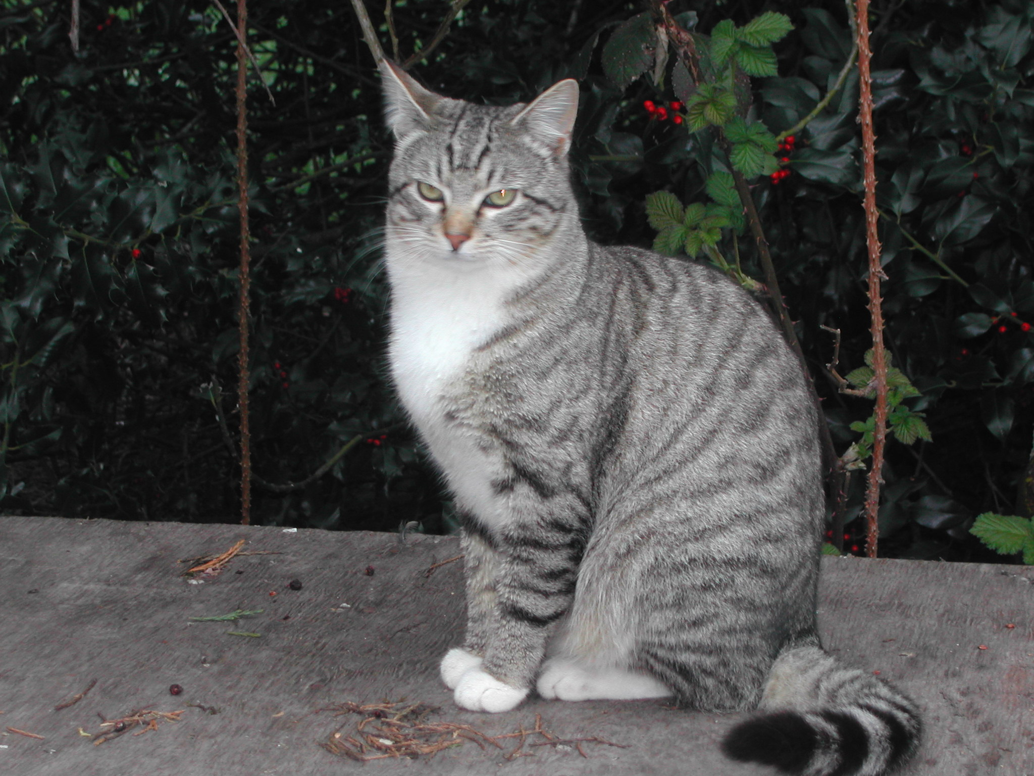 One of the feral kittens, almost 11 months old: Hubertus, named for the patron saint of hunting