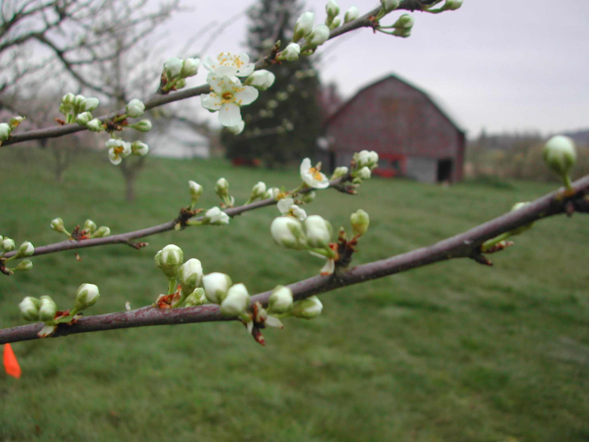 And the blossoms with a barn