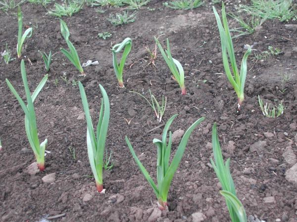 Inchelium garlic that got planted way too late, but is trying to catch up