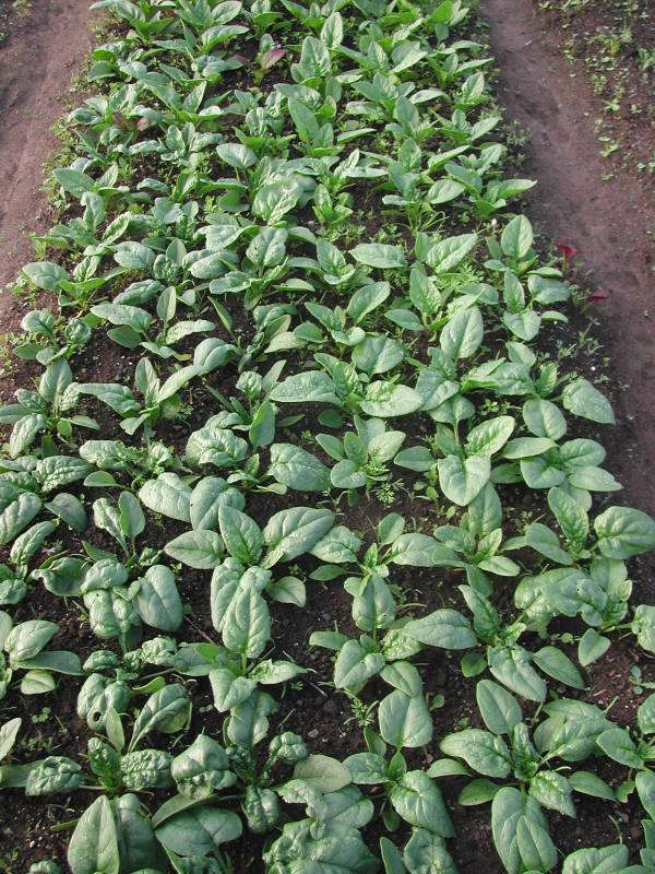 Spinach salads coming soon!