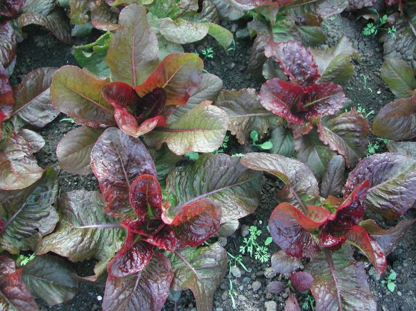 Some beautiful red romaine, with an evil name: Devil's Tongue