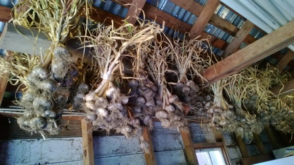 Inchelium Red garlic curing.