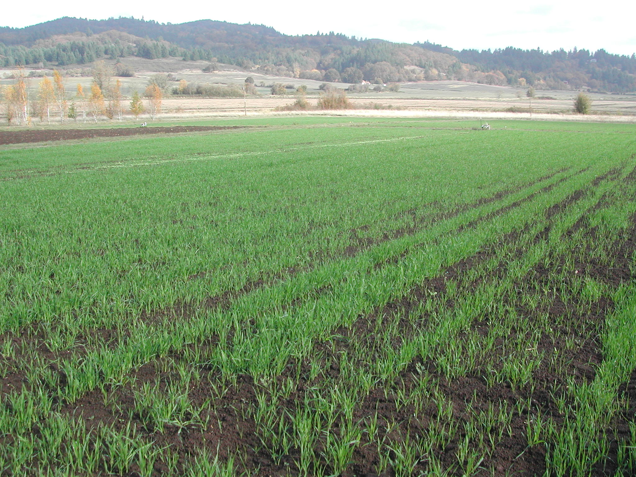 Cayuse spring oats in field H