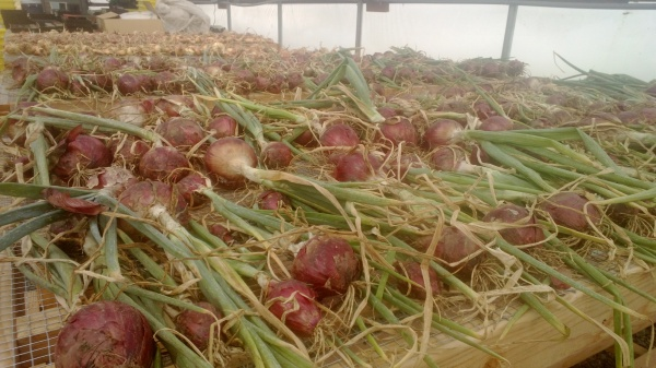 Onions, curing in the hoop house