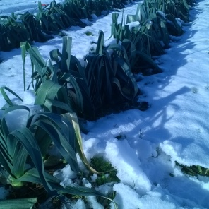 The leeks froze solid, but defrosted nicely.