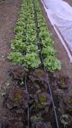 Lettuce in the new hoop house