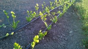 cultivated celeriac
