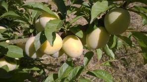 Shiro plums