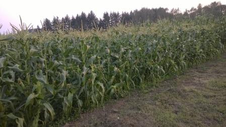 sweet corn!