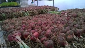 Rosa di Milano onions